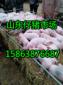 山東仔豬供應基地